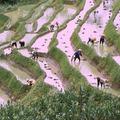 A világ legrégebbi rizsföldjét találták meg Kelet-Kínában