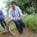 Veszélyeztetett kínai aligátorok eddigi legnagyobb csoportját engedték a szabadba