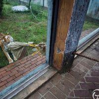 Legújabb állatkerti szórakozás - kötélhúzás tigrissel