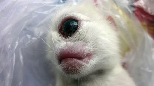 Http Pet Net Net Australian Cattle Dog Chihuahua Puppy Adoption Colorado