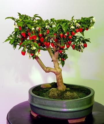Chili bonsai - Chili paprika