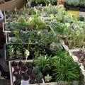 Kaktuszgyűjtők a Mihály-napi vásáron
