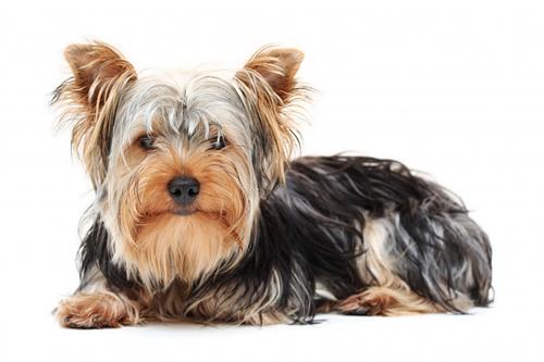 http://m.blog.hu/pr/praxis/image/yorkshire-terrier.jpg