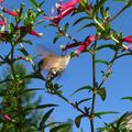 Kacsafarkú szender - A magyar kolibri