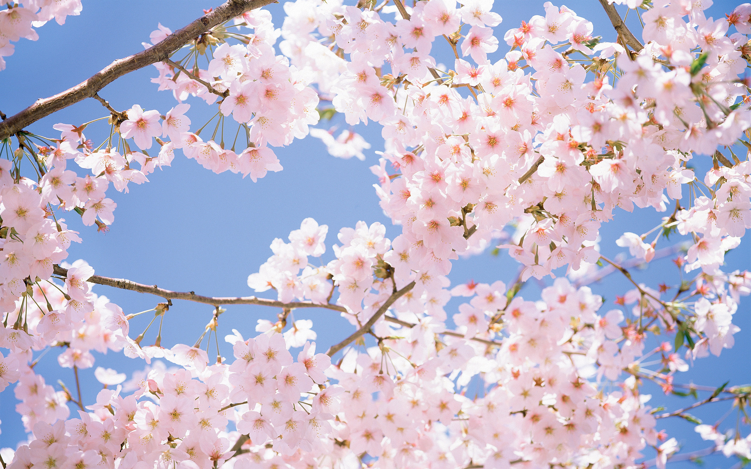 cherry-blossom-tree.jpg