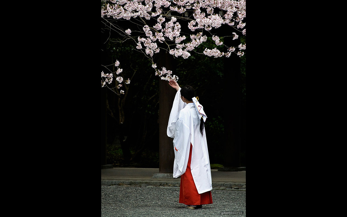 cherry-blossoms-mishima-shrine-japan-nikon-d300-18-200mm-lens-mikka-tokuda-hall.jpg