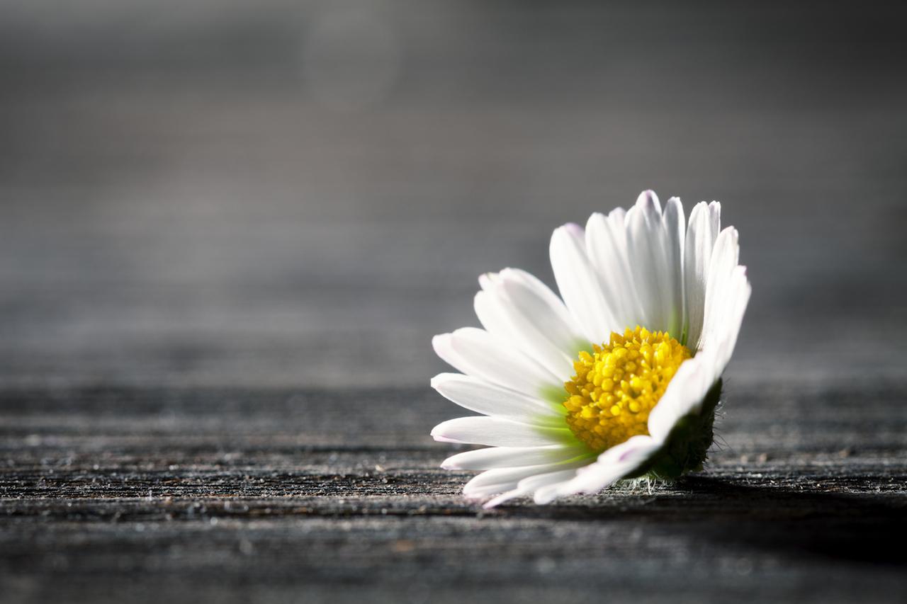 daisy_reduced.jpg