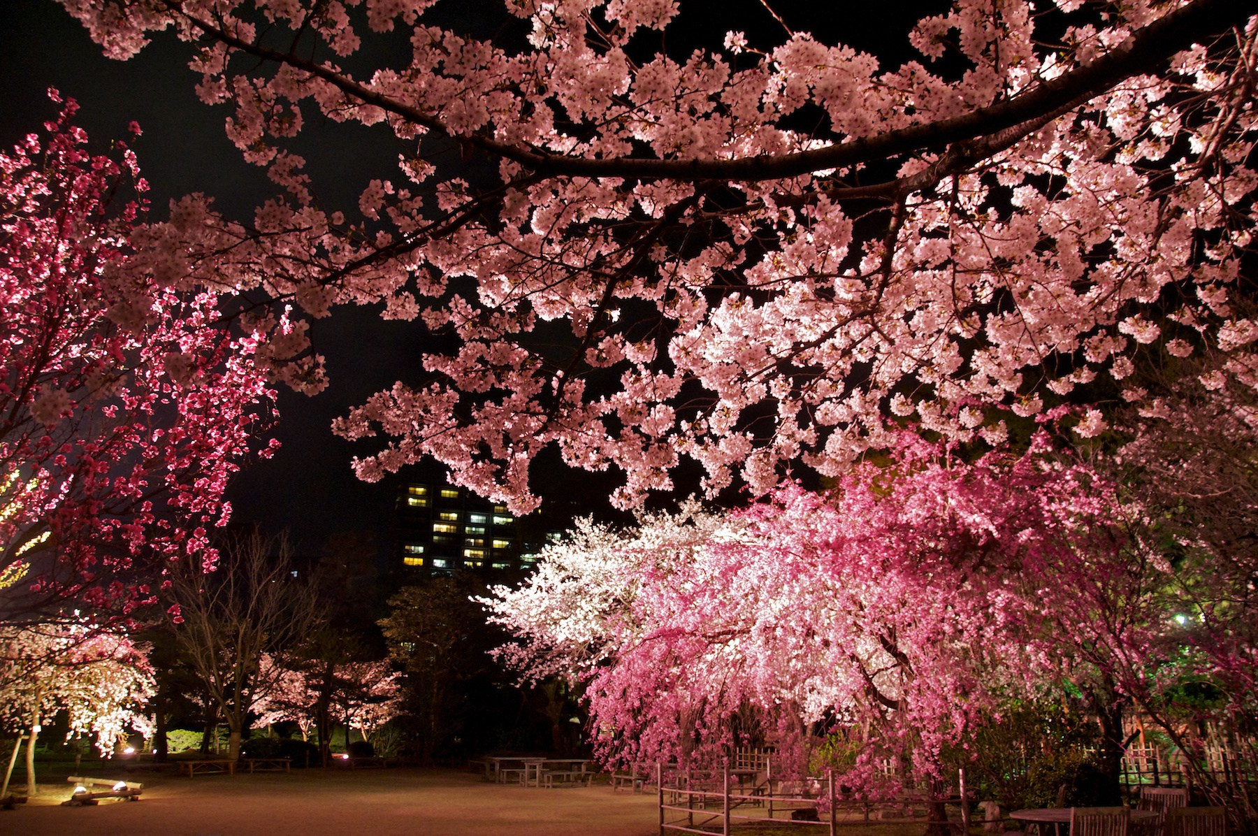 illuminated-yozakura-cherry-blossom-at-shukkei-en-garden-in-hiroshima.jpg