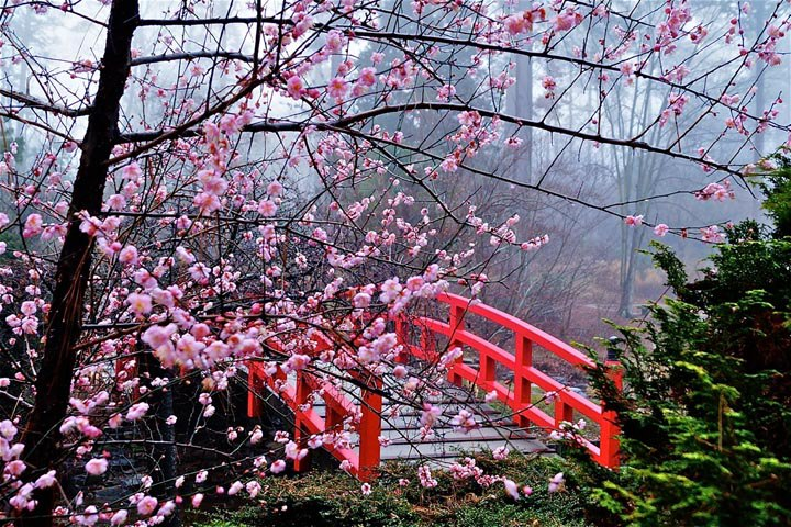 japanese-cherry-blossom-festival-cherryblossoms.jpg