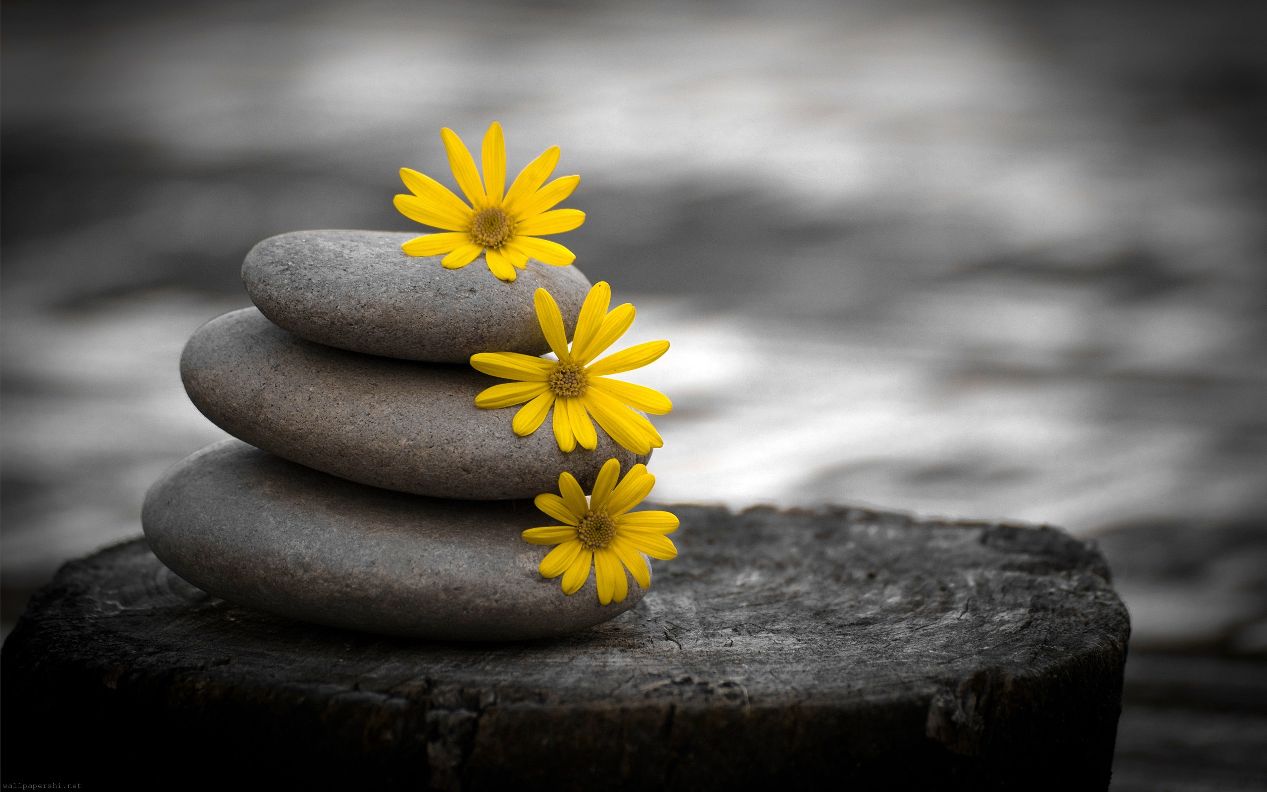 zen-stones-and-daisies-black-flowers-white.jpg
