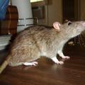 Patkány beszaladt a lakásba! Azonnal fogják meg!
