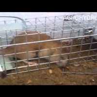 Patkány befogása, patkányfogó ketrecek telepítése