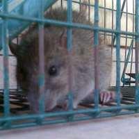 Rágcsálóirtás irtószer nélkül, egyéb kártékony állatok csapdázása