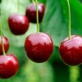 Felségsértés a cseresznyéskertben