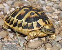 http://m.blog.hu/re/reptile/image/testudohermanni.jpg