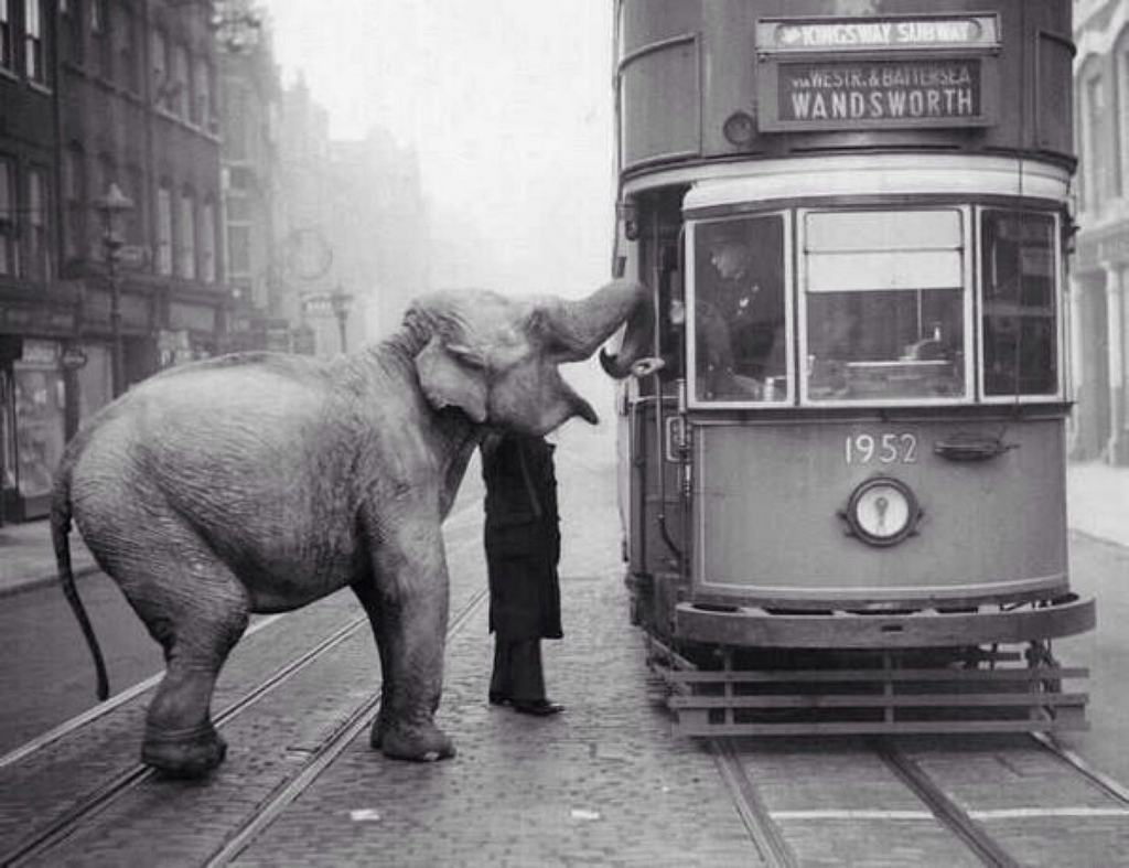 1936_egy_cirkuszi_elefant_epp_elfogadja_a_felkinalt_almat_a_villamosvezetotol_a_londoni_gray_s_inn_road-on.jpg