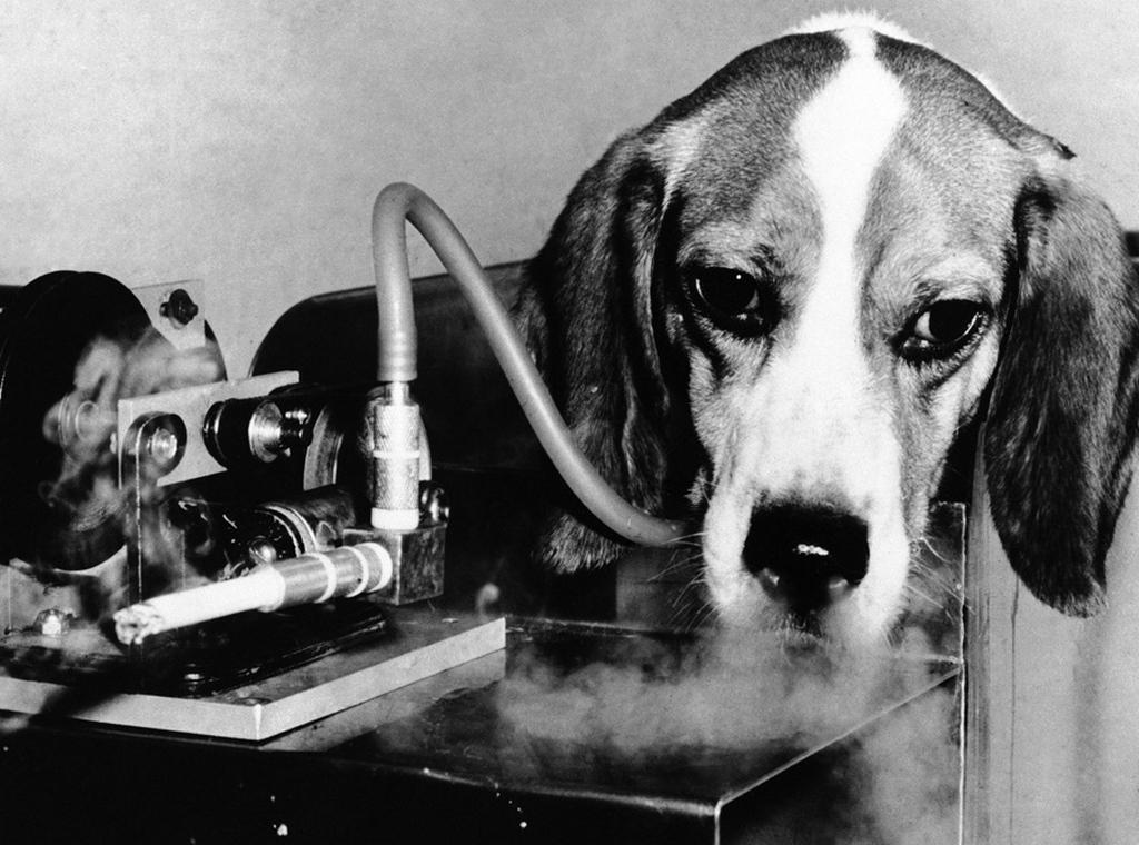 1966_amerikai_dohanygyar_tesztje_allatokon_itt_epp_egy_beagle_kutyan.jpg