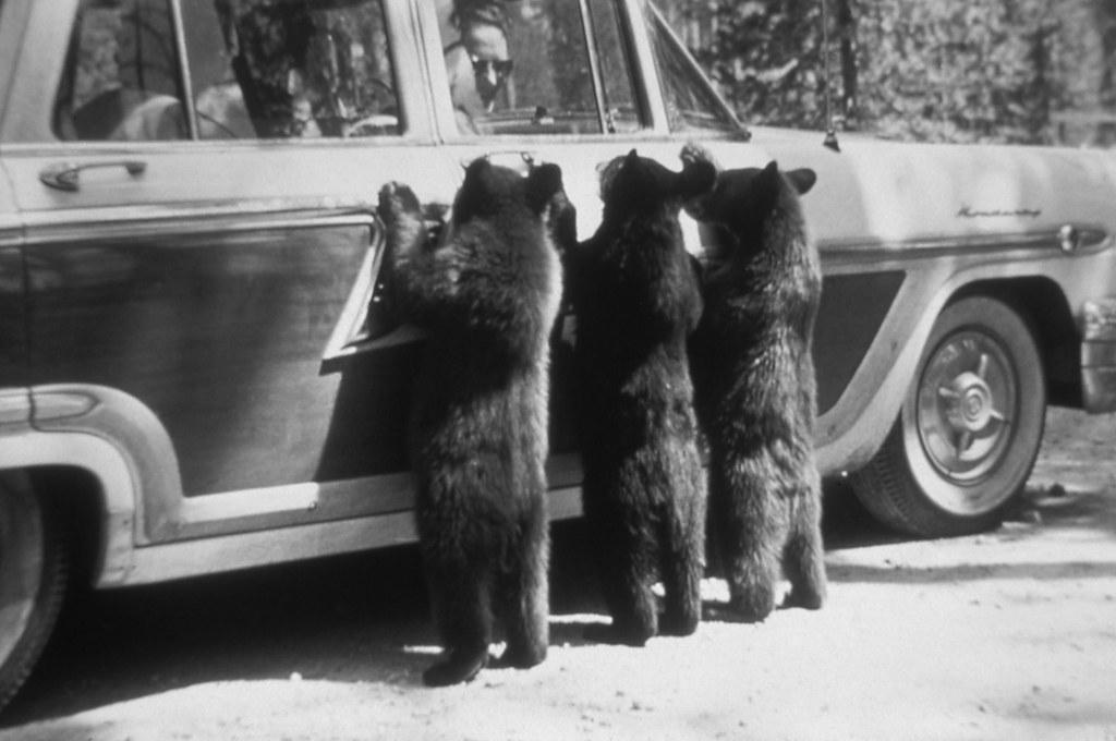 1960_three_bears_1960_yellowstone_nemzeti_park_amerikai_egyesult_allamok.jpeg