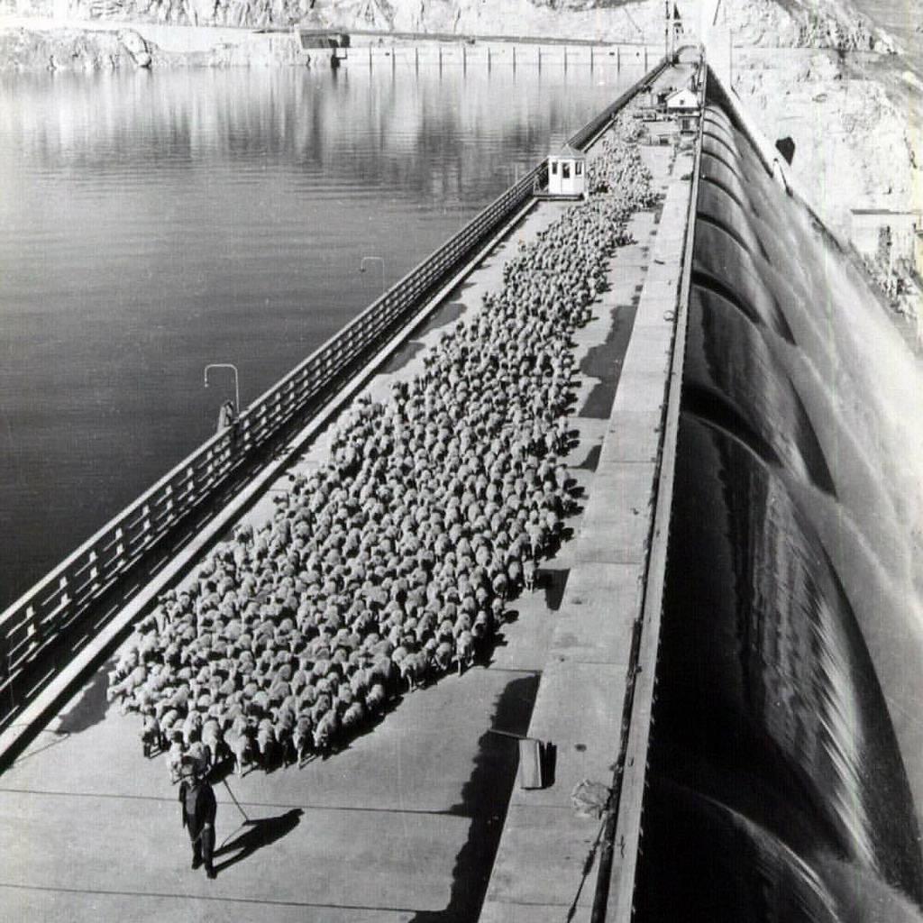 1947_shepherd_taking_sheep_across_grand_coulee_dam.jpg