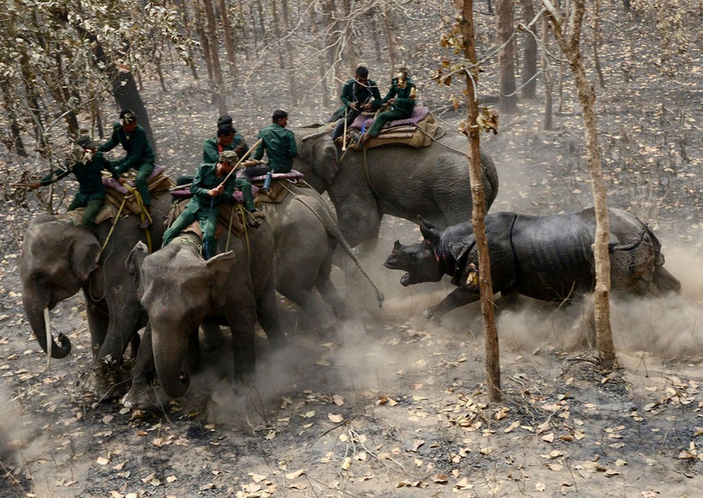 2017_04_04_a_relocated_rhino_charges_a_nepalese_forestry_and_technical_team_after_being_released_as_part_of_a_relocation_project_in_shuklaphanta_national_park.jpg