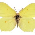 A 2013. év rovara a citromlepke