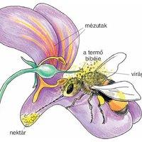 A méhek mint pollinátorok