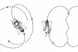A méhek kommunikációja