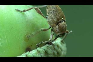 Párosodó Curculio glandium pár videója az internetről.