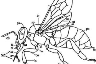 A méhek testfelépítése
