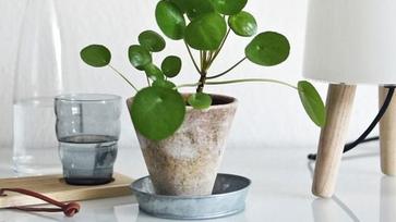 5 + 1 menő szobanövény