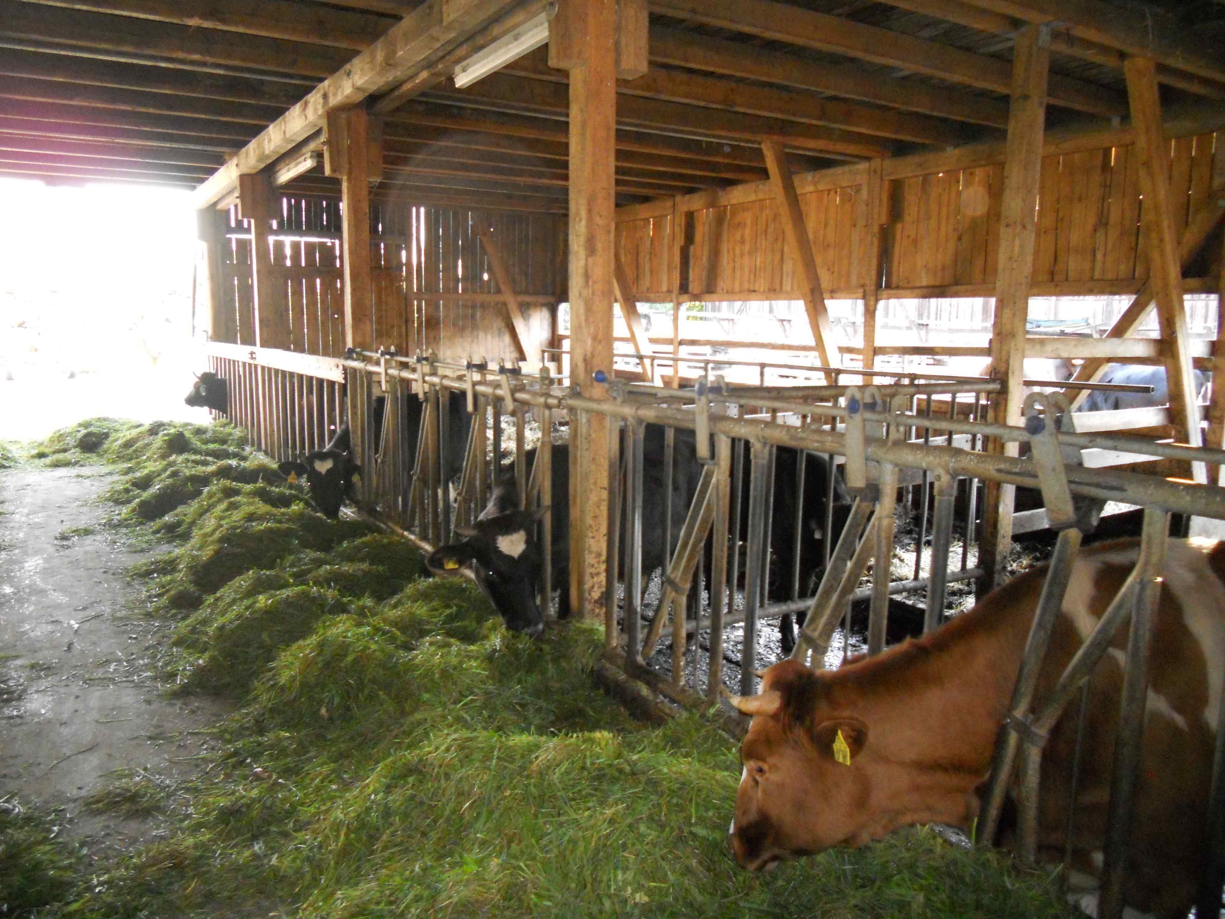 friss zöld takarmány, istálló alatt gyűjtik a híg trágyát