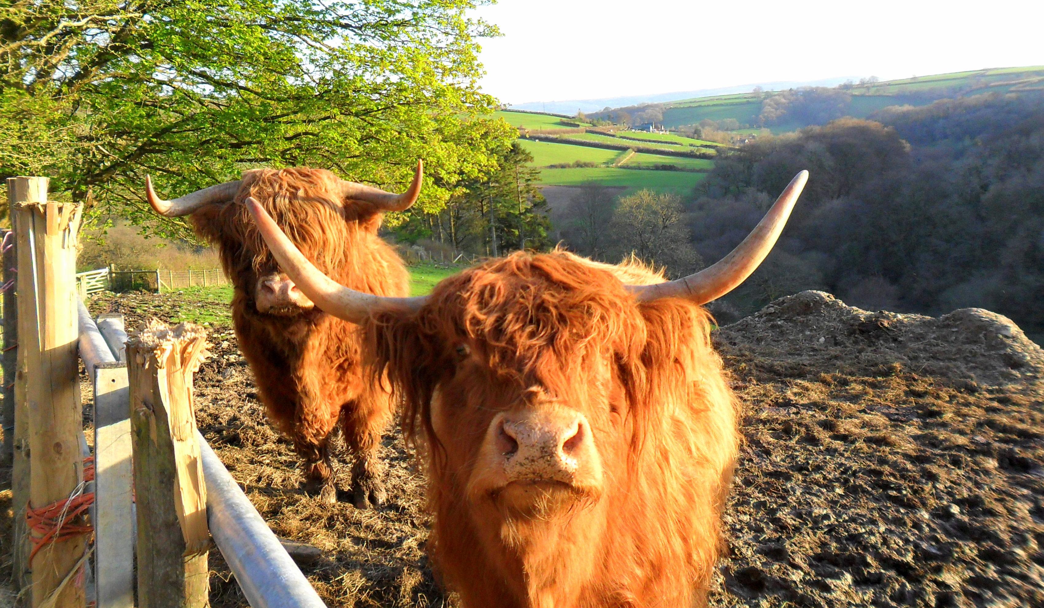 Felföldi tehenek - the Highland cows