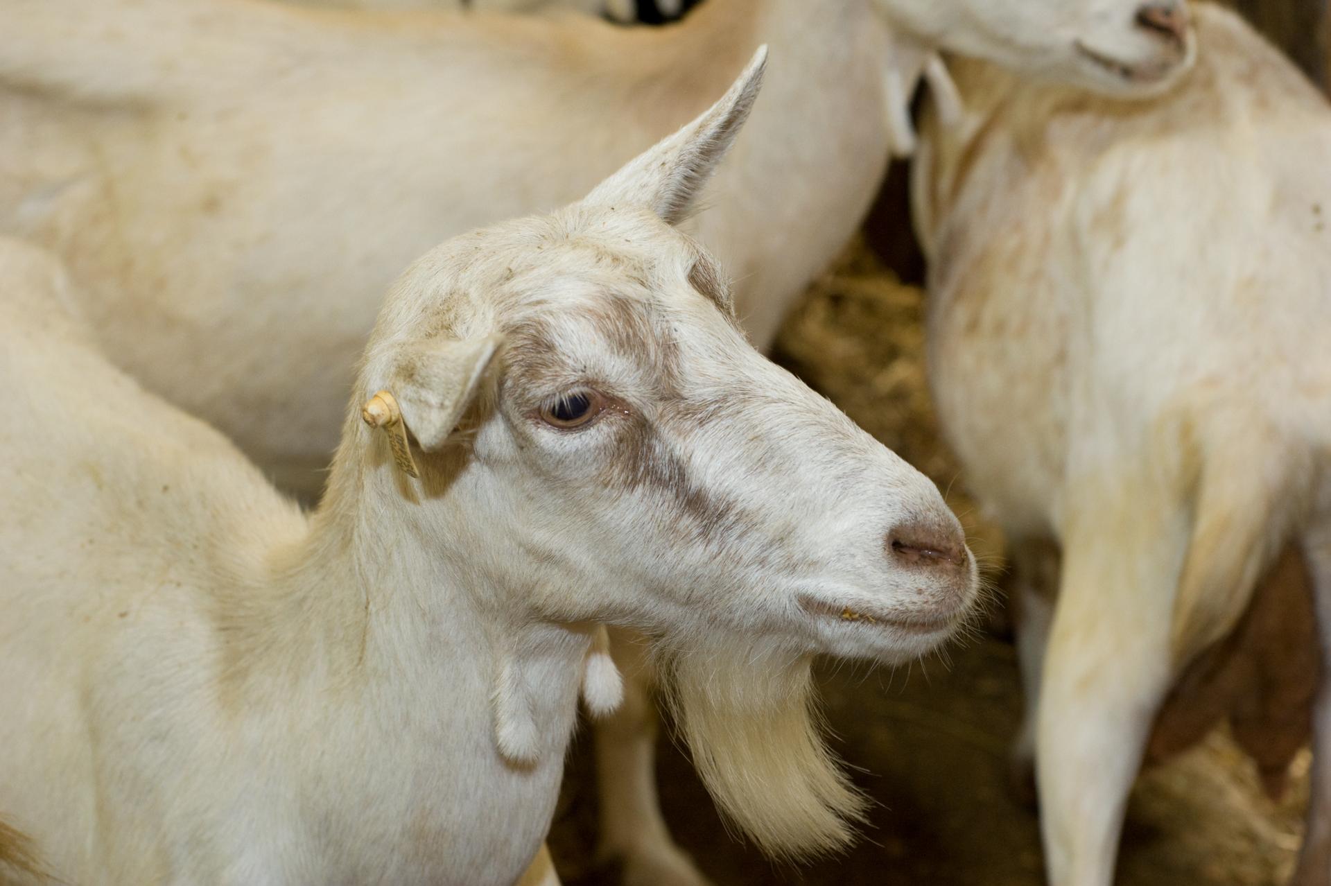Minden kecskének neve van, gazdáig pedig mindet felismerik és nevükön szólítják!