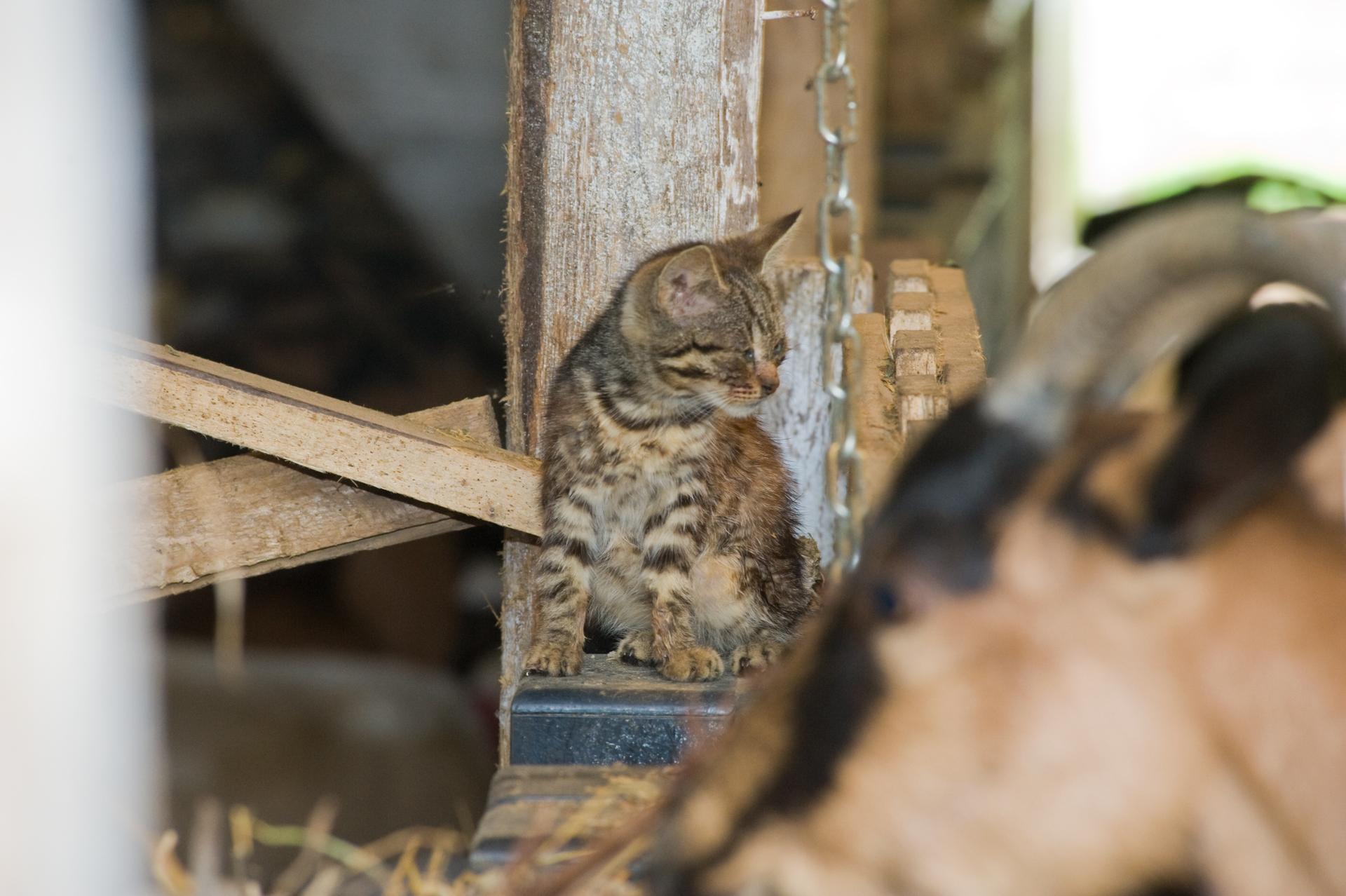 Vakaródzó kiscica a kecskék közt