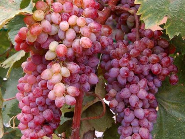 Szent Márton-szőlő, szentmártoni szőlő