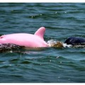Rózsaszín delfint találtak