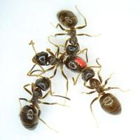 Vakcinák a hangyák között