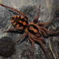 Hapalopus sp. colombia big