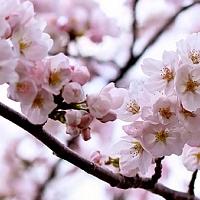 Mi fán terem a Sakura? Nézd meg Te is a japán cseresznyevirágzást! [élménybeszámoló és programajánló]