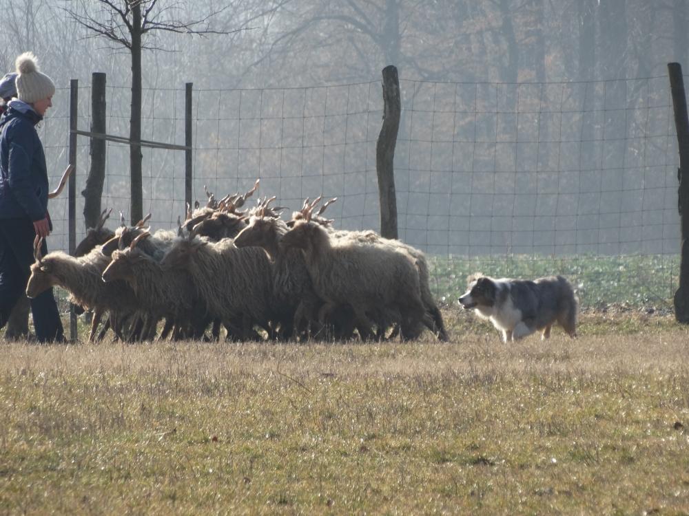 austrailan-shepherd-aussie-herding.jpg