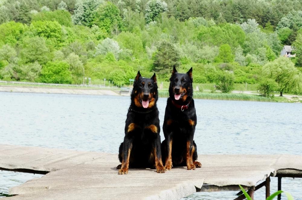 beauceron-berger-de-beauce-bas-rouge-gardiens-du-chaos-pogo-rebelle-dog-working-orfu-to-pecsi-lake-beach-dock-summer.jpg