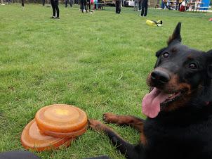 beauceron-berger-de-beauce-dog-bas-rouge-frisbee-canine-freestlye-gardiens-du-chaos-discdog-flydog.jpg