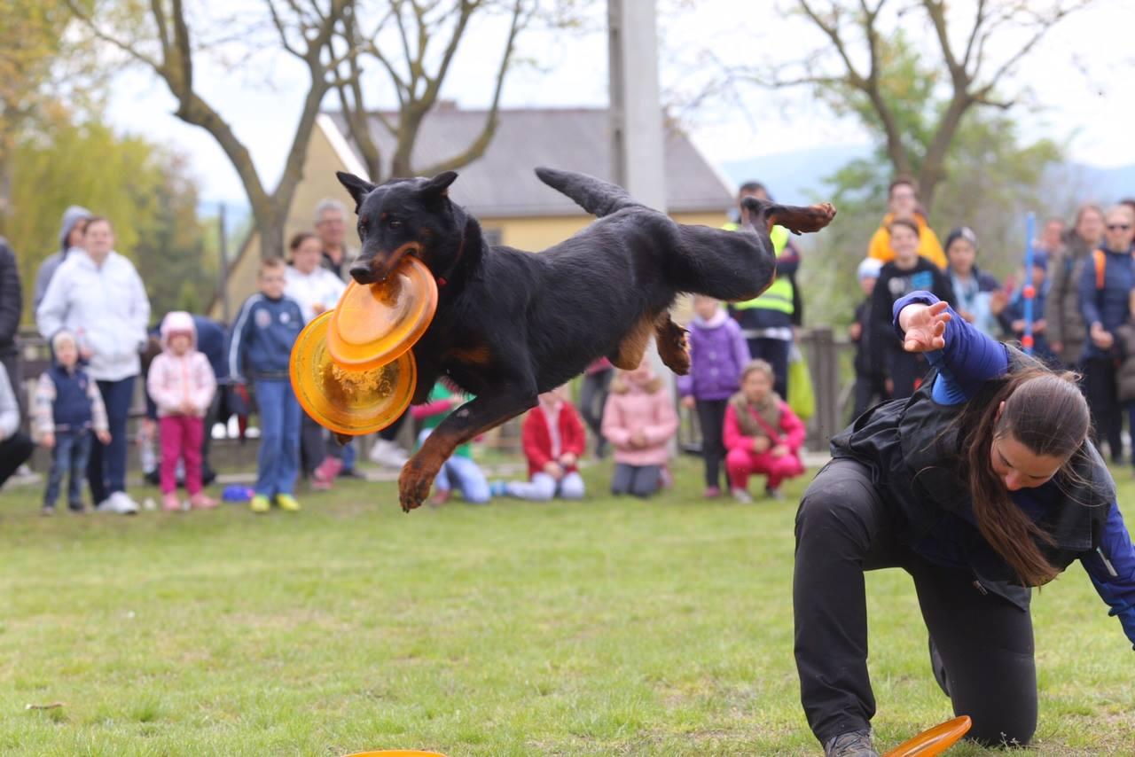 beauceron-berger-de-beauce-dog-bas-rouge-frisbee-canine-freestlye-pogo-gardiens-du-chaos.jpg