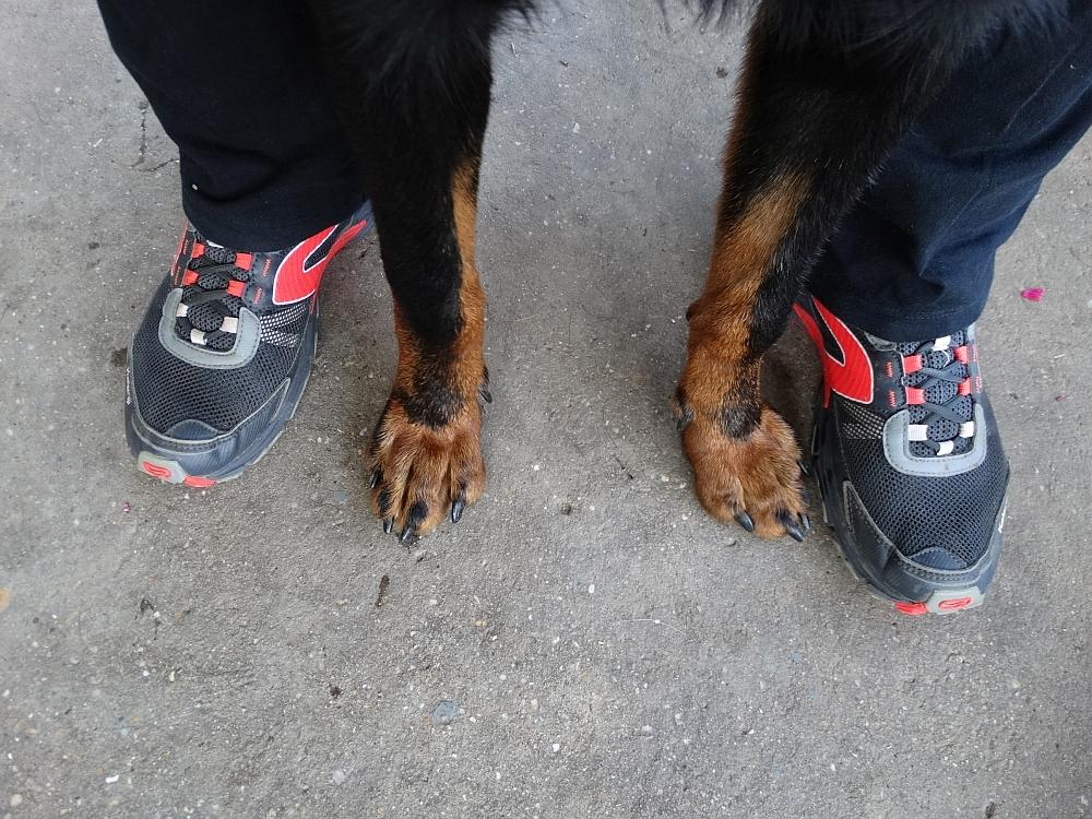 beauceron-berger-de-beauce-gardiens-du-chaos-kennel-working-dog-sport-herding-canicross.jpg