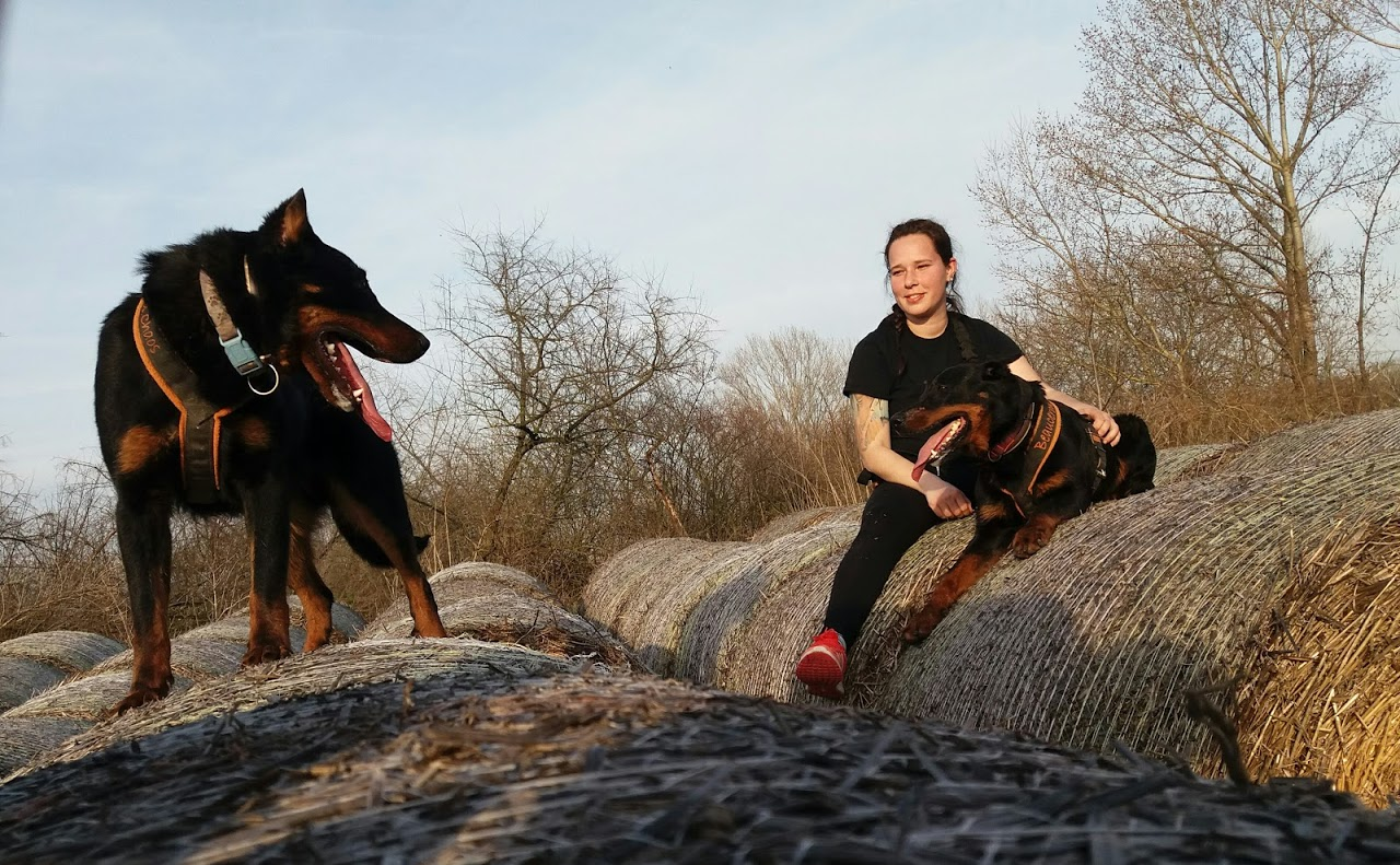 beauceron-berger-de-beauce-gardiens-du-chaos-kennel-working-dog-sport-herding-sheepdog-troupeau-hard-dog-race-canicross.jpg