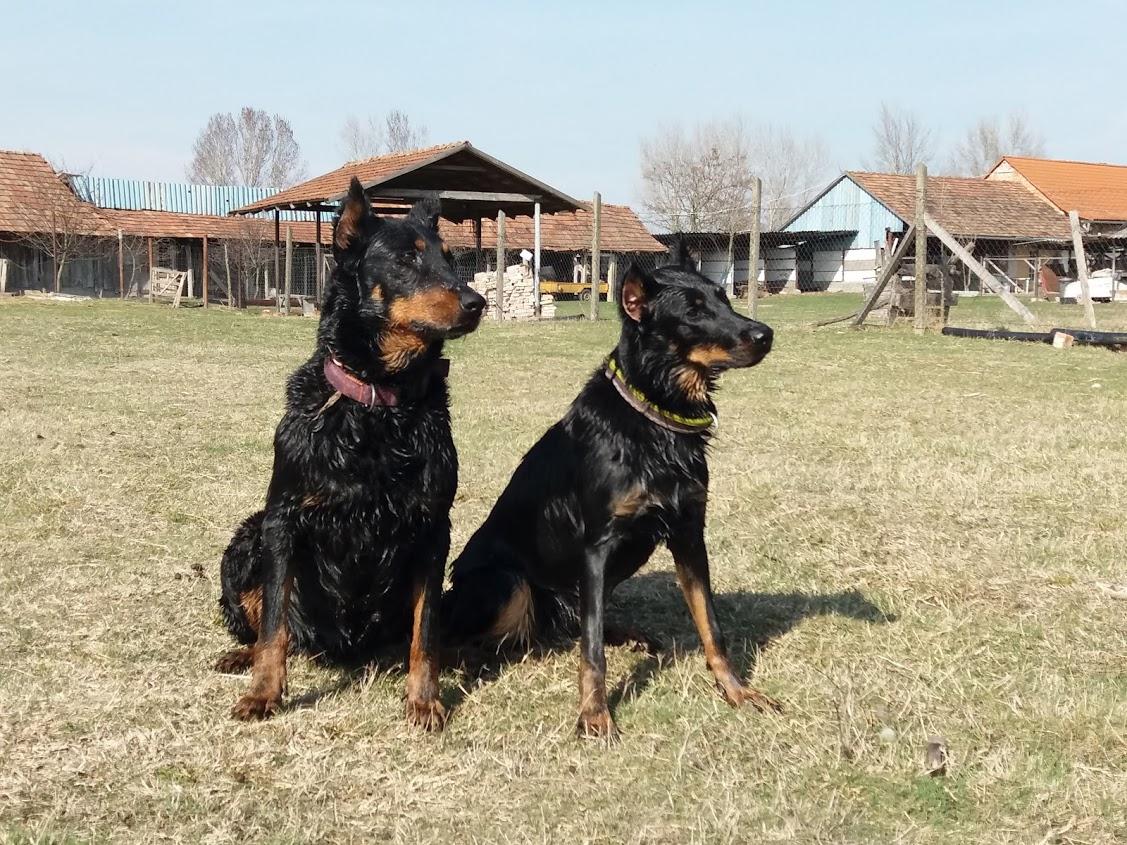 beauceron-berger-de-beauce-gardiens-du-chaos-kennel-working-dog-sport-herding-troupeau-beaucerons.jpg