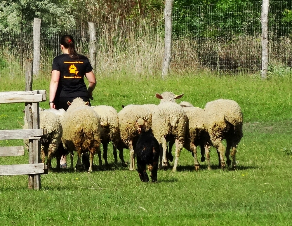 beauceron-berger-de-beauce-gardiens-du-chaos-kennel-working-dog-sport-herding-troupeau-sheepdog-pogo-doubledew.jpg