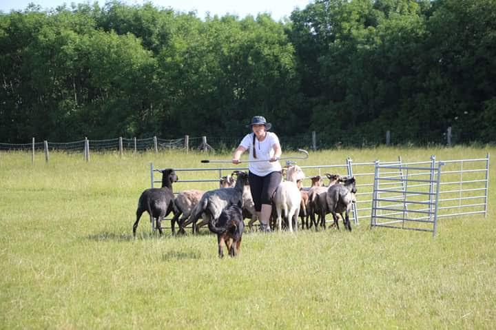beauceron-berger-de-beauce-gardiens-du-chaos-kennel-working-dog-sport-herding-troupeau-sheepdog-pogo-trial-austria.jpg