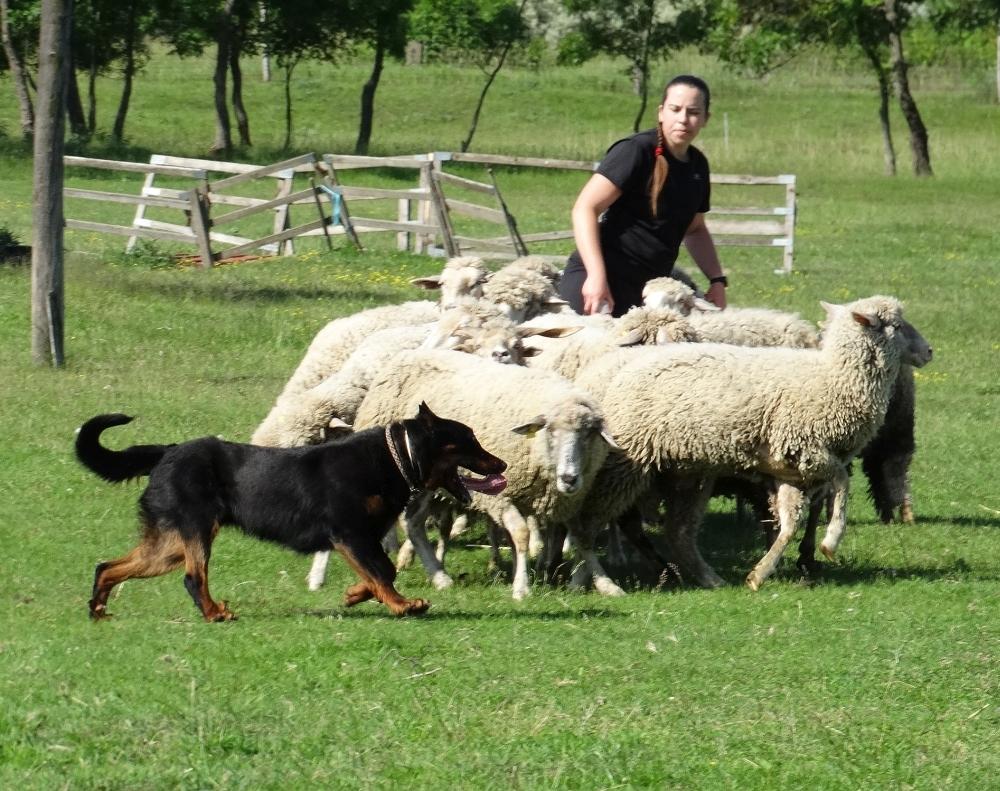 beauceron-berger-de-beauce-gardiens-du-chaos-kennel-working-dog-sport-herding-troupeau-sheepdog-rebelle-doubledew.jpg