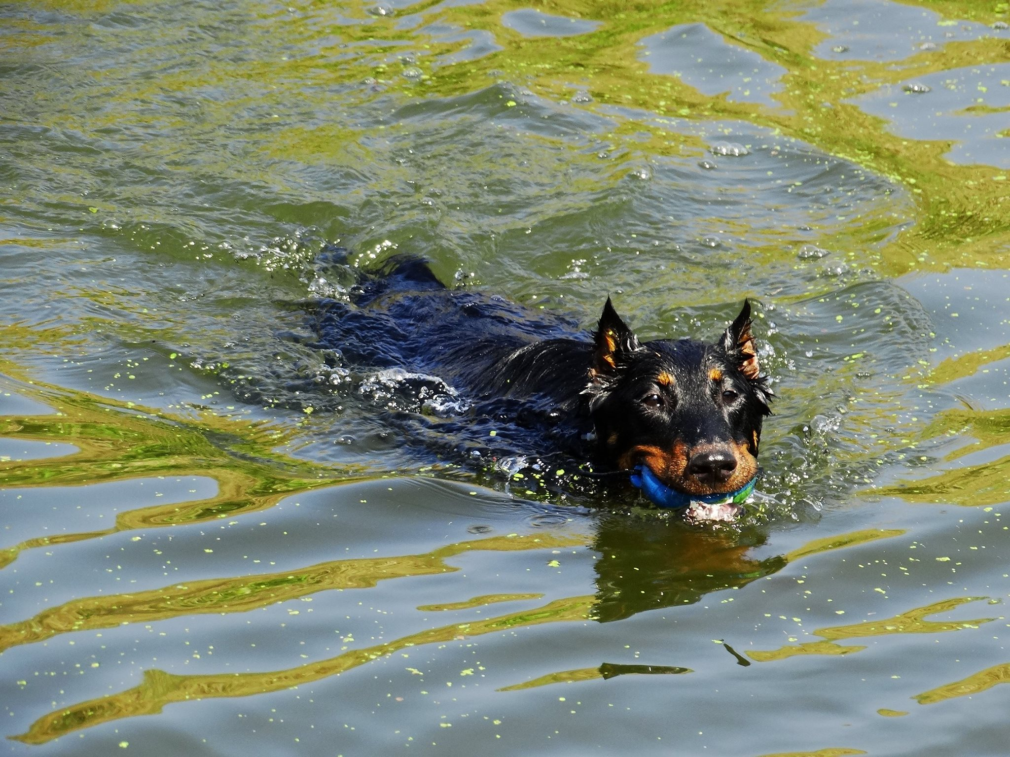 beauceron-berger-de-beauce-gardiens-du-chaos-kennel-working-dog-sport-herding-troupeau-sheepdog-rebelle-summer-heat-swimming.jpg